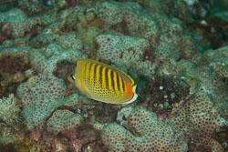 BD-110314-Puerto-Galera-3558-Chaetodon-punctatofasciatus.-Cuvier.-1831-[Spotband-butterflyfish].jpg
